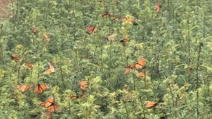 Detectan plantaciones de aguacate en Reserva de la Monarca