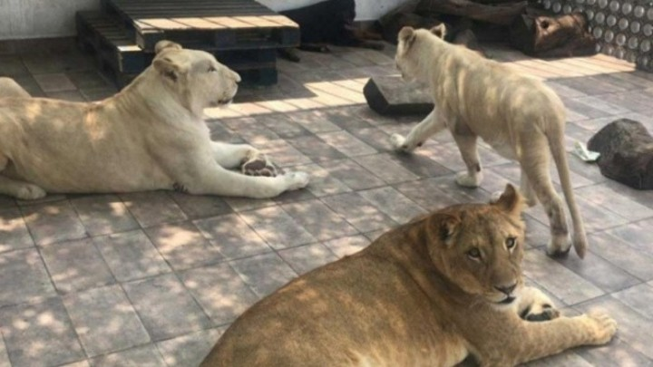 Personal de la Profepa aseguró a tres leones en los límites de las alcaldías de Iztacalco y Benito Juárez