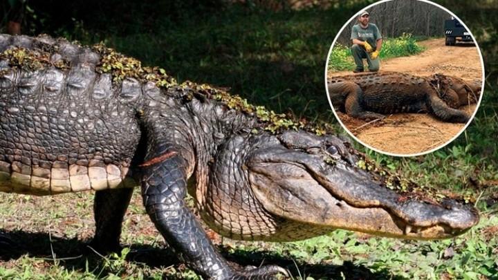 Encuentran a caimán gigante en Estados Unidos