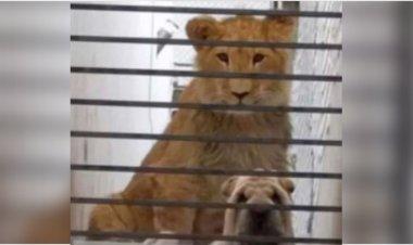 Abandonan a león y perro en casa de Atizapán