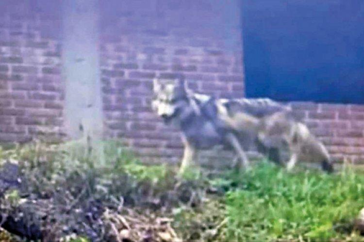 Encuentran a lobo gris que escapó en Tenancingo